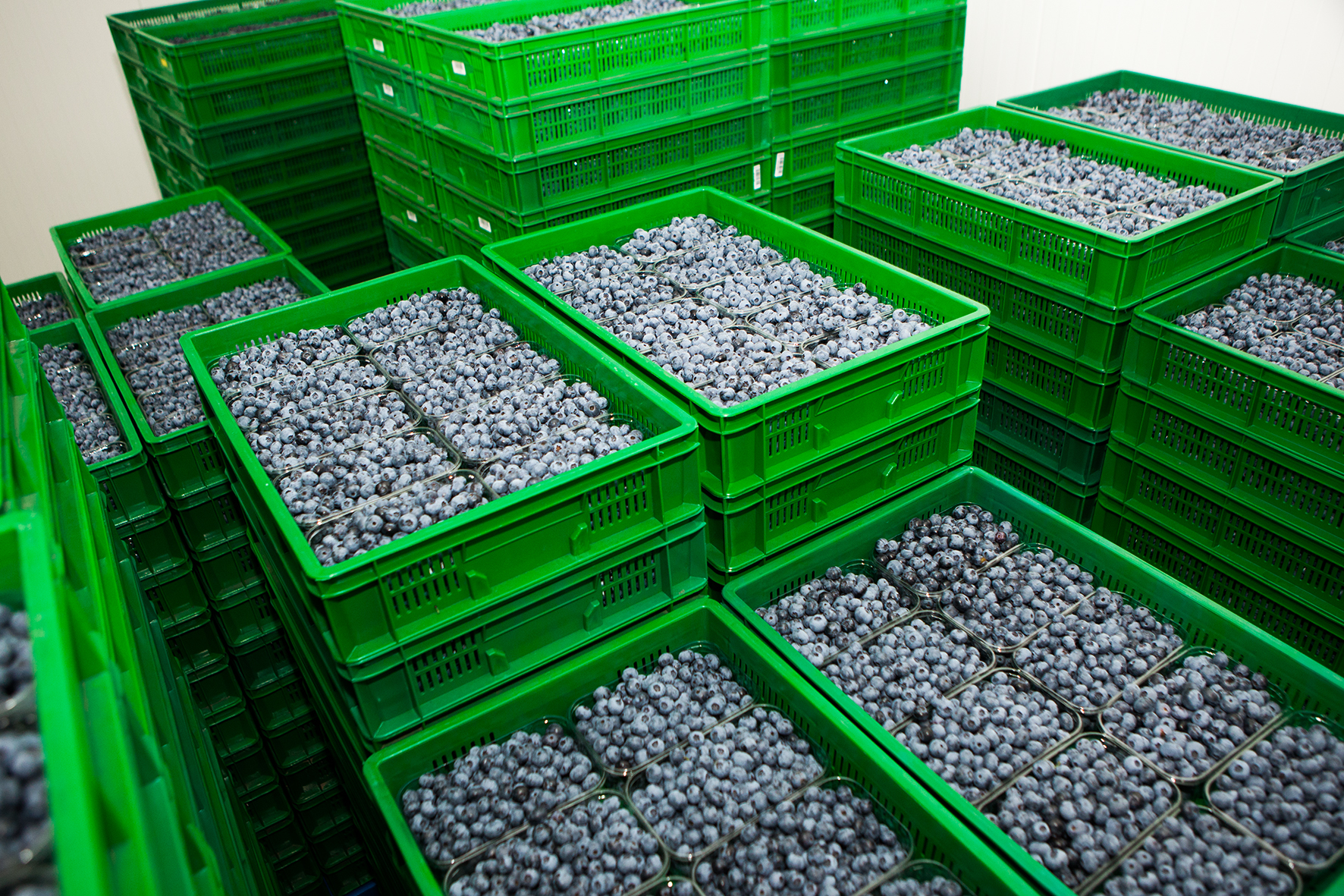 The South African blueberry season