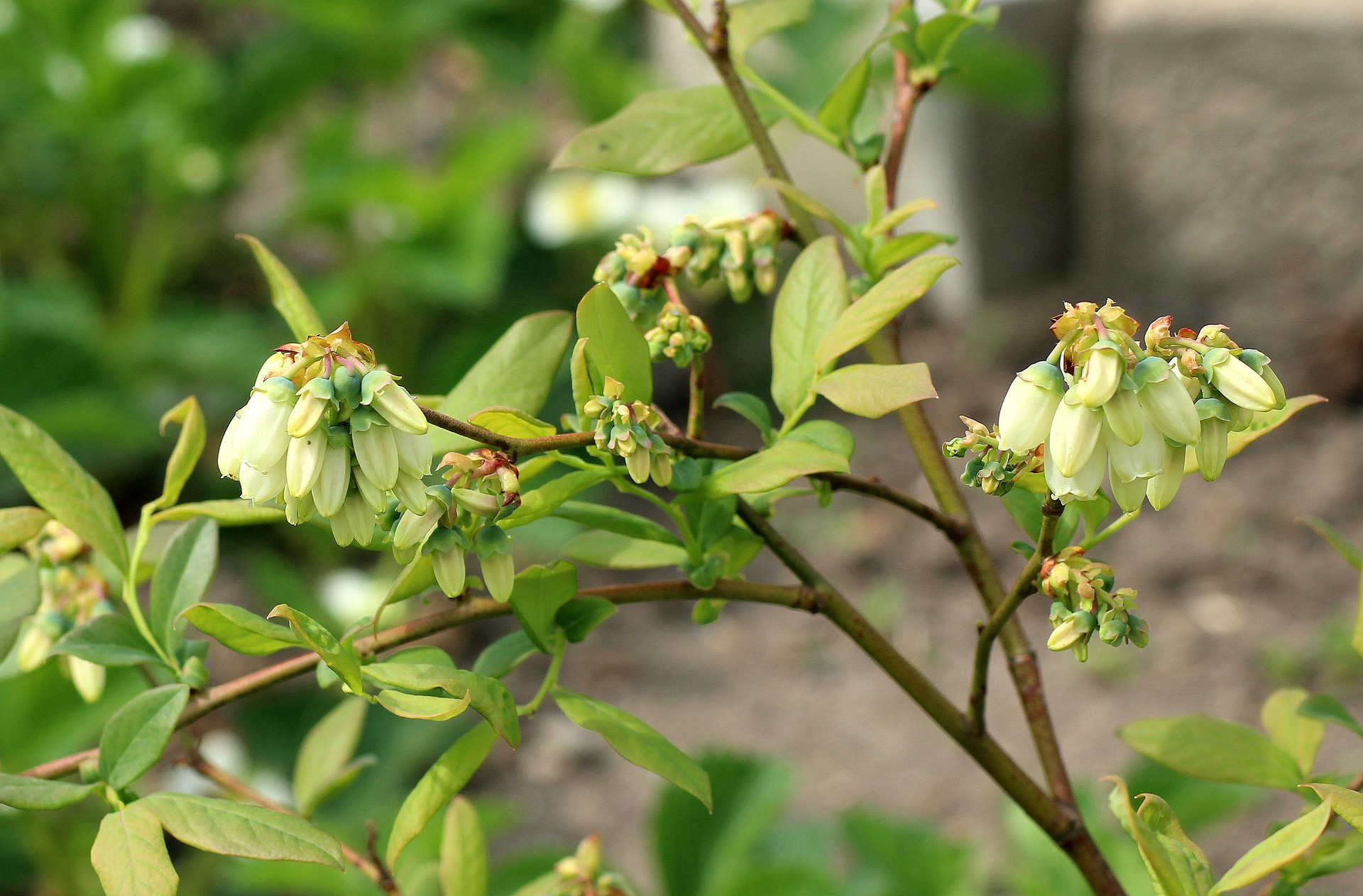 Peruvian blueberries in particular are available in all continents