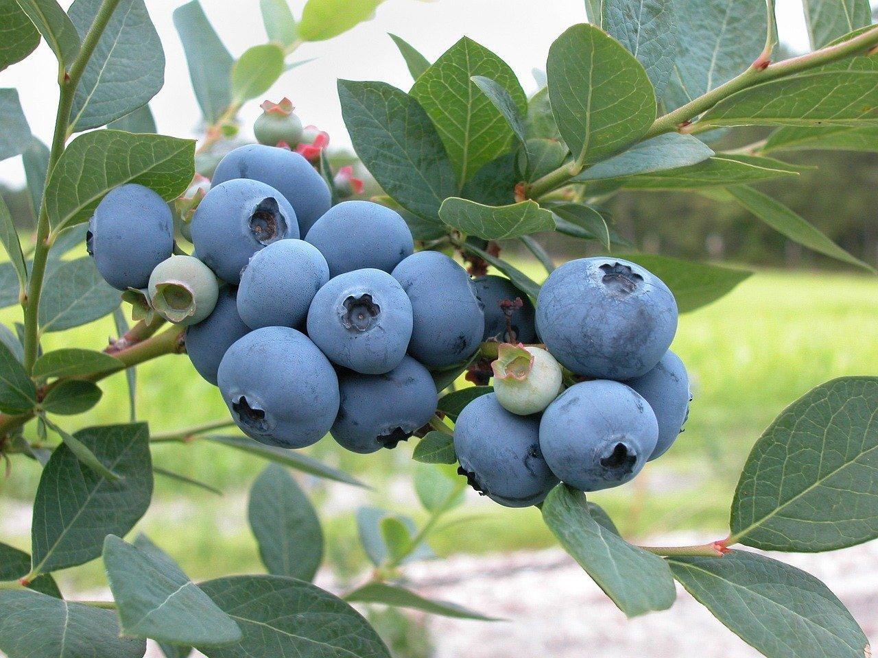 New Zealand's blueberry exports